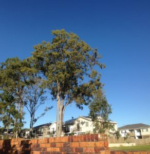 Tree lopping blue-gum-before-shot-1